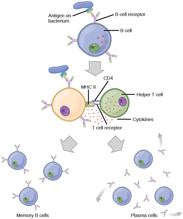 Illustration shows activation of a B cell. An antigen on the surface of a bacterium binds the B cell receptor. The b cell engulfs the antigen, and presents an epitope on its surface in conjunction with a M H C I I receptor. A T cell receptor and C D 4 molecule on the surface of a helper T cell recognize the epitopes M H C I I complex and activate the B cell. The B cell divides and turns into memory B cells and plasma cells. Memory B cells present antigen on their surface. Plasma B cells excrete antigen.