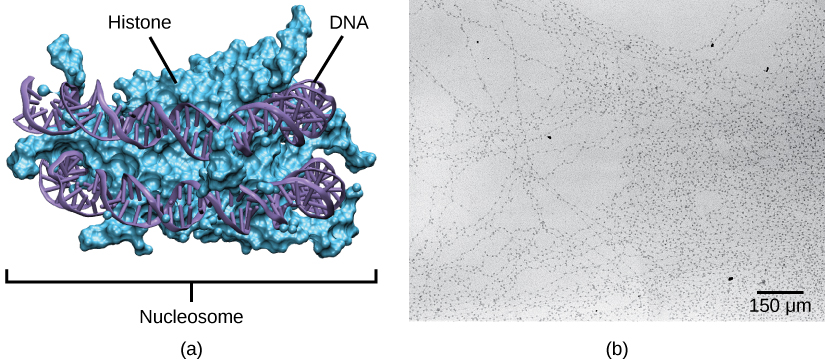 Part A depicts a nucleosome composed of spherical histone proteins that are fused together. A double-stranded DNA helix wraps around the nucleosome twice. Free DNA extends from either end of the nucleosome.  Part B is an electron micrograph of DNA that is associated with nucleosomes. Each nucleosome looks like a bead. The beads are connected together by free DNA. Nine beads strung together is approximately 150 nm across.