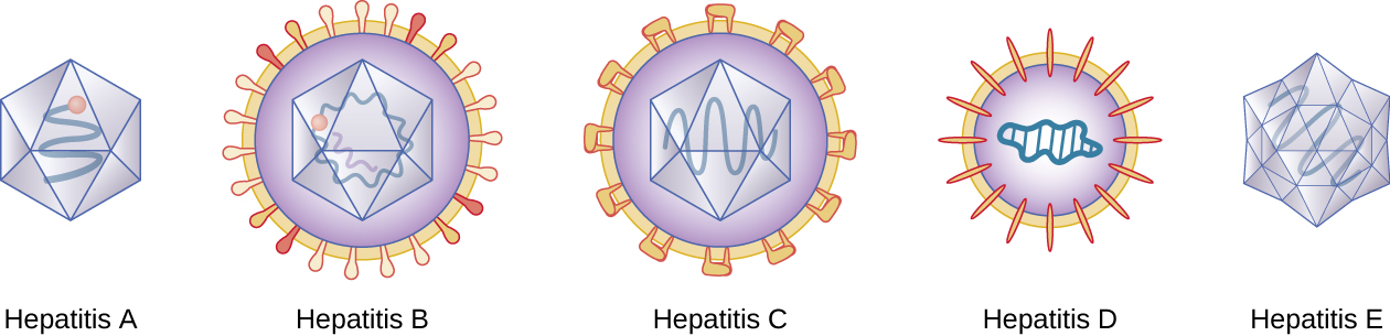 Hepatitis A is a polyhedron with a single strand inside. Hepatitis B is a polyhedron with 2 strands inside and a layer outside with bulb-shaped studs in it. Hepatitis C is a polyhedron with a single strand inside and a layer outside that has studs rectangular studs. Hepatitis D is a sphere with a wavy circle in the center and an outer layer with oval studs. Hepatitis E is a more complex polyhedron with a single strand inside.
