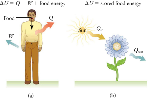 A man takes in energy from food, gives off heat, and does work in part (a). A flower absorbs heat from the Sun and gives off heat in part (b).