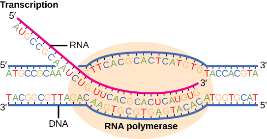 Illustration shows R N A synthesis by R N A polymerase. The R N A strand is synthesized in the 5 prime to 3 prime direction.