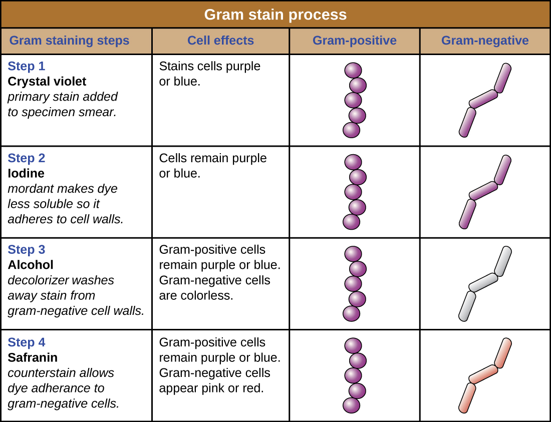 Figure 2.33 Gram-staining is a differential staining technique that uses a primary stain and a secondary counterstain to distinguish between gram-positive and gram-negative bacteria.