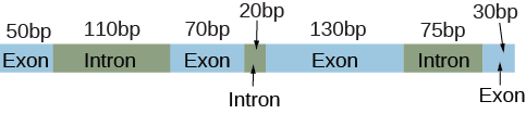 An illustration shows an R N A transcript including seven boxes and their associated lengths in base pairs (abbreviated b p) labeled, left to right, as exon with 50 b p, intron with 110 b p, exon with 70 b p, intron with 20 b p, exon with 130 b p, intron with 75 b p, and exon with 30 b p.