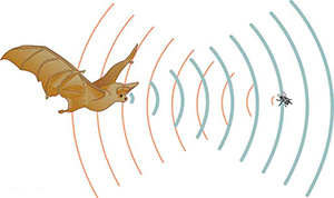 A bat produces sound waves that bounce off of a fly and back to the bat.