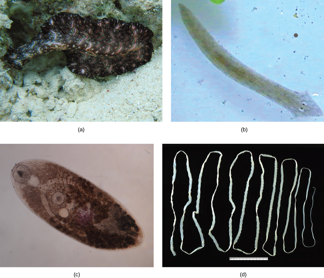 Four photos of flatworms are depicted. Photo a shows a dark, opaque, wavy-edged, speckled flatworm, about three times as long as it is wide. Photo b shows a transparent, brown flatworm, with a length about eight times the width, and a slightly arrow-shaped head with two eyes. Photo c shows an oval, transparent brown flatworm, with a circular sucker at the front end and one near the middle. Photo d shows a very long, narrow, flat, white tapeworm.