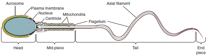 Figure 27.6 Structure of Sperm