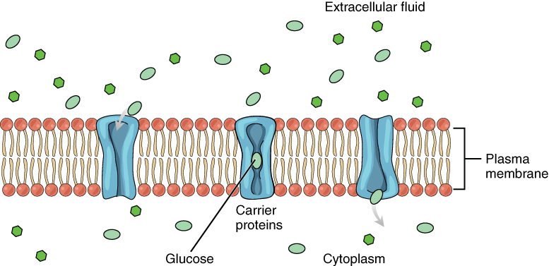 This diagram shows a carrier protein embedded in the plasma membrane between the cytoplasm and the extracellular fluid. There are several glucose molecules in the extracellular fluid. In the first step, the carrier protein is open to the extracellular fluid and closed to the cytosol. One of the glucose molecules travels from the extracellular fluid into the carrier protein. The protein then changes shape, closing at both ends. This pushes the glucose down into the carrier protein, closer to the cytosol end. The protein then opens on the cytosol side and closes on the extracellular fluid side, allowing the glucose to enter the cytosol.