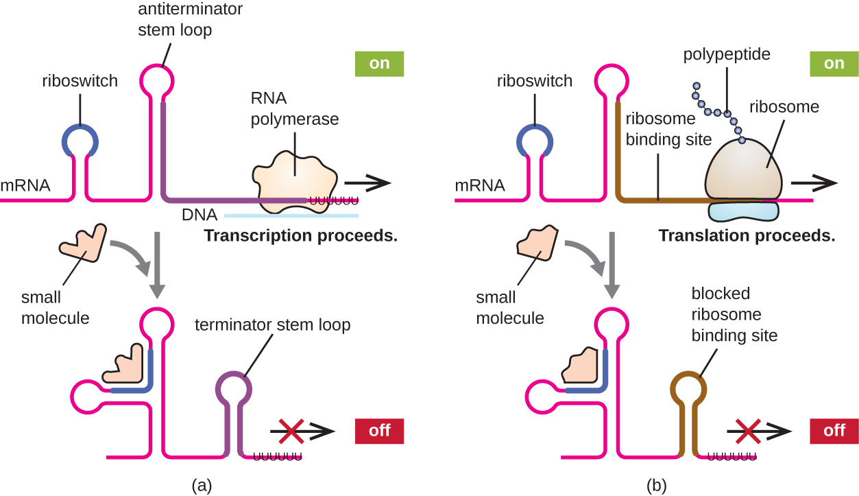 "a) The mRNA forms a loop called a riboswitch and a loop called an antiterminator stem loop. RNA polymerase can proceed transcription. This is labeled ""on"". A small molecule binds to the mRNA at the riboswitch location. The shifts the second loop to the terminator stem loop position and no transcription occurs. This is labeled off. B) The mRNA forms a loop called a riboswitch and another unlabeled loop. The ribosome binds at the ribosome binding site after the second loop and a translation proceeds. This is ""on"". A small molecule binds to the mRNA at the riboswitch location. The shifts the second loop to the ribosome binding site location with blocks this ribosome binding site. This is now ""off""."