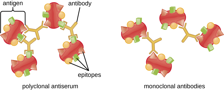 This figure shows 2 sets of 4 antigens. Each antigen has multiple unique epitopes on the surface. For one set of antigens, polyclonal antibodies are binding to different sets of epitopes on each antigen, linking the antigens together like a lattice. For the second set of antigens, monoclonal antibodies bind to just one of the specific unique epitopes. Because of the specificity, only 2 antigens are linked to each other, rather than forming a more complex lattice with all 4 antigens.