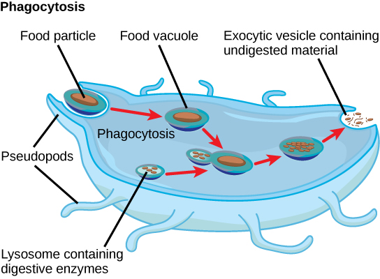 In this illustration, a eukaryotic cell is shown consuming a food particle. As the food particle is consumed, it is encapsulated in a vacuole. The vacuole fuses with a lysosome, and proteins inside the lysosome digest the food particle. Indigestible waste material is ejected from the cell when an exocytic vesicle fuses with the plasma membrane.