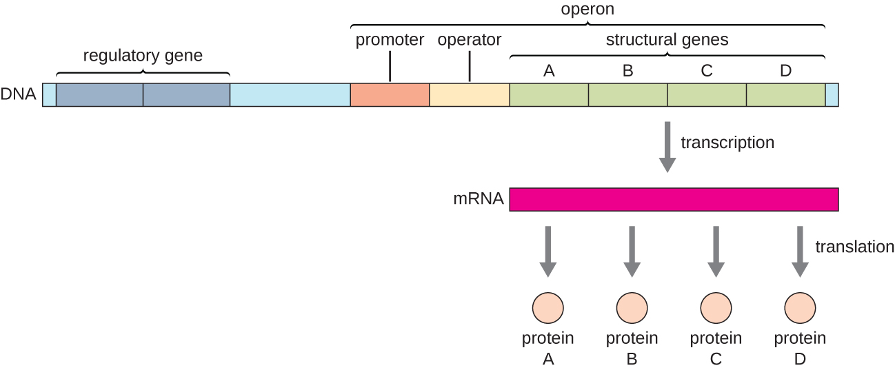 Diagram of an operon. At one end is a regulatory gene; the operon proper begins further down. The operon is composed of a promoter, an operator, and structural genes (in this case 4, labeled A – D). Transcription produces a single mRNA strand that contains all the structural genes. Translation of this single mRNA produces 4 different proteins (A, B, C, D).