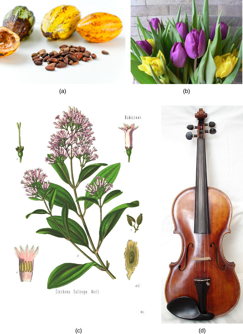 Photo A shows small, almond-shaped cacao seeds and the oval cacao fruit. Photo B shows a bouquet of purple and yellow tulips. Illustration C shows the teardrop-shaped leaves and small pink flowers of a cinchona tree. Photo D shows a violin, a stringed instrument whose body is in the shape of an eight, and a neck extends upward from the body.