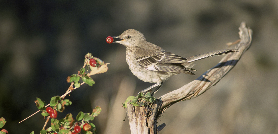 This photo shows a mockingbird eating a berry.