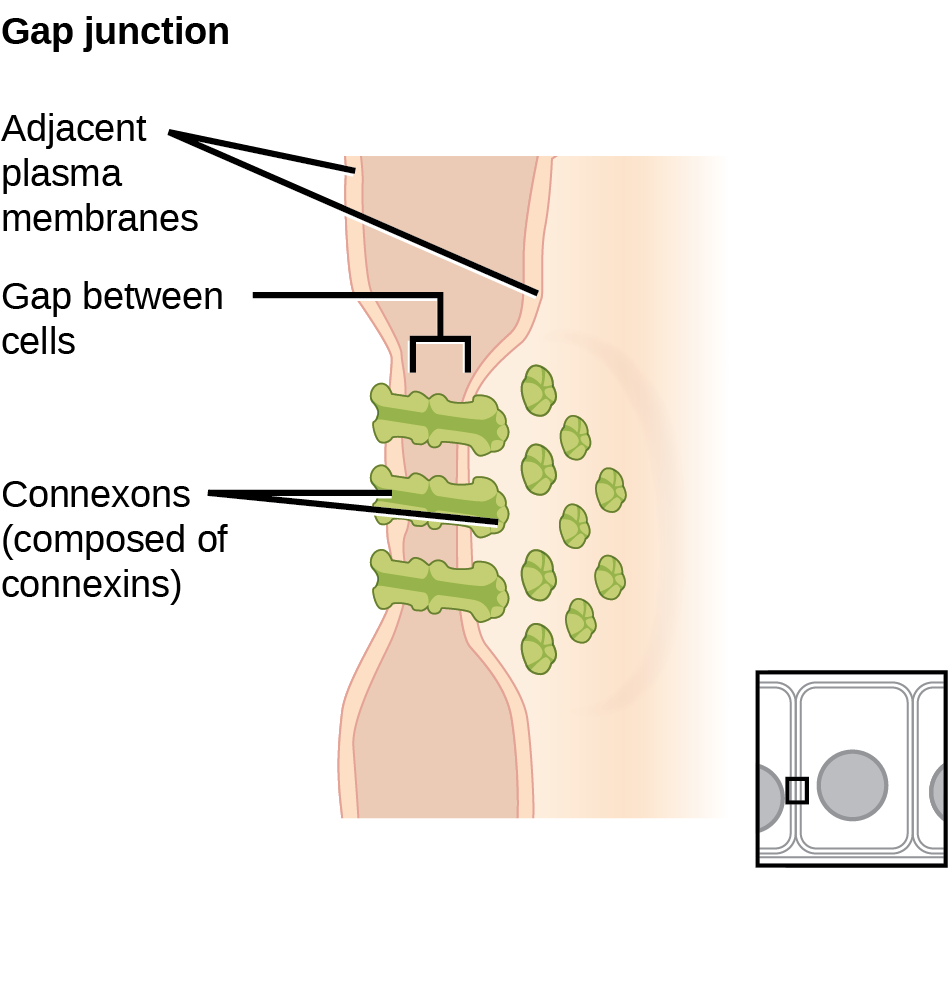 This illustration shows two cells joined together with protein pores called gap junctions that allow water and small molecules to pass through.