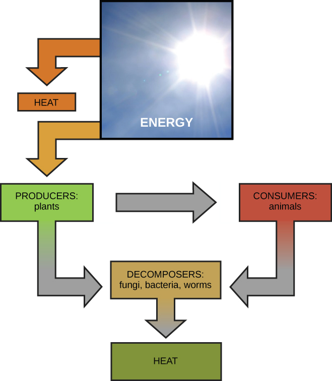 This diagram shows energy from the sun being transferred to producers, such as plants, as well as releasing heat. The producers in turn transfer the energy to consumers and decomposers, which release heat. Animals also transfer energy to decomposers.