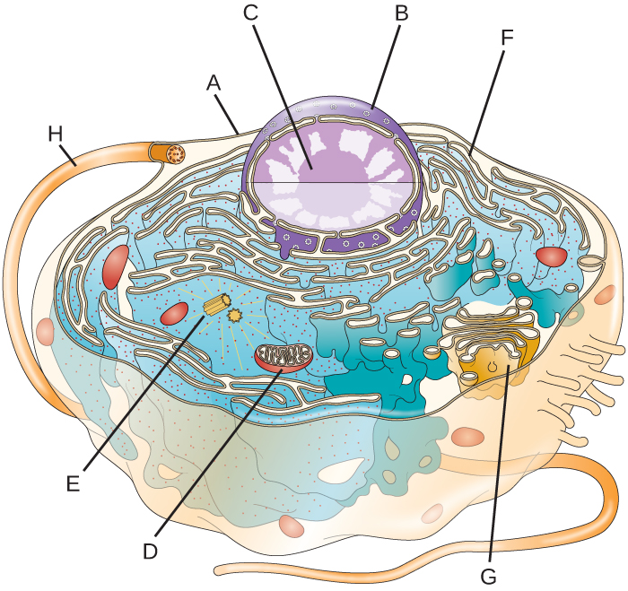 Image of a cell. the outside line is labeled A. A long projection to the outside is labeled H. A large sphere in the cell has an outer line labeled B. A smaller sphere in the larger sphere is labeled C. Outside of this sphere but still inside the cell are folds of membranes with dots labeled F. Another set of folded membranes in a stack is labeld G; smaller spheres are coming off of these stacks. An oval structure with lines inside is labeld D and two small tubes are labeled E.