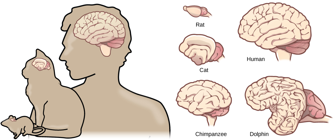 Illustrations shows that brains increase in size and amount of cortical folding from rat to cat to chimpanzee to human to dolphin.