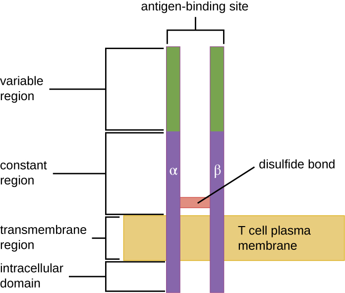 Drawing of a two bars spanning the T cell plasma membrane. On one side of the membrane is the intracellular domain. The transmembrane region spans the membrane. The constant region is outside the membrane; a disulfide bond holds these two bars together in the constant region. The variable region is at the top and contains the antigen binding sites.