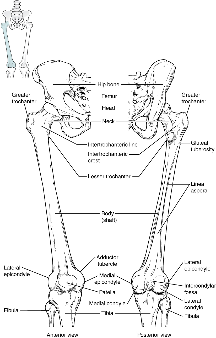 This diagram shows the bones of the femur and the patella. The left panel shows the anterior view, and the right panel shows the posterior view.