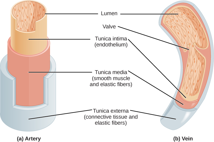 Illustrations A and B show that arteries and veins consist of three layers, an inner endothelium called the tunica intima, a middle layer of smooth muscle and elastic fibers called the tunica media, and an outer layer of connective tissues and elastic fibers called the tunica externa. The outer two layers are thinner in the vein than in the artery. The central cavity is called the lumen. Veins have valves that extend into the lumen.