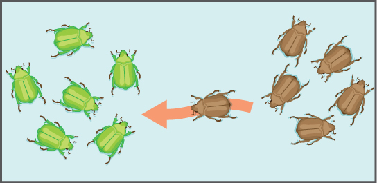 Illustration shows an individual from a population of brown beetles traveling toward a population of green beetles.
