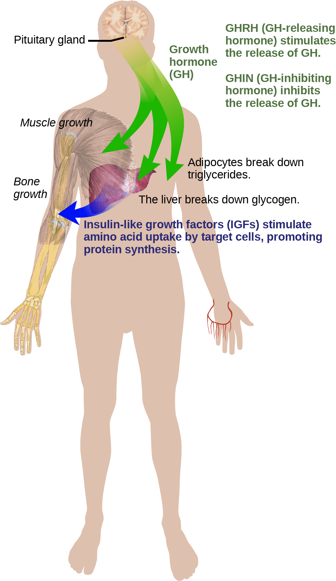 Growth hormone, or G H released from the pituitary gland stimulates bone and muscle growth. It also stimulates fat breakdown by adipocytes and glucagon breakdown by the liver. The liver releases I G Fs, which cause target cells to take up amino acids, promoting protein synthesis. G H releasing hormone stimulates the release of G H, and G H inhibiting hormone, inhibits the release of G H.