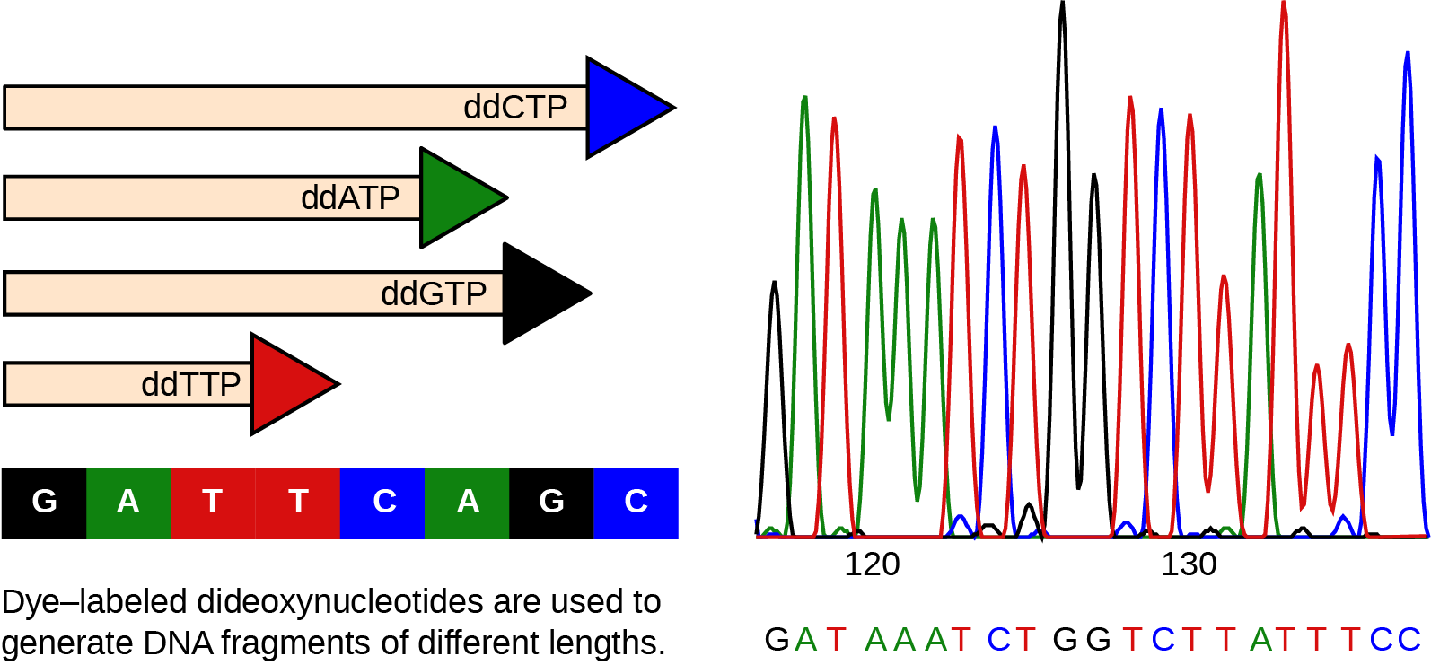 The left part of this illustration shows a parent strand of D N A with the sequence G A T T C A G C, and four daughter strands, each of which was made in the presence of a different dideoxynucleotide: lower case d lower case d upper case A upper case T upper case P, and lower case d lower case d upper case C upper case T upper case P, and lower d lower d upper G upper T upper P, or lower d lower d upper T upper T upper P. The growing chain terminates when a lower d lower d upper N T P is incorporated, resulting in daughter strands of different lengths. The right part of this image shows the separation of the D N A fragments on the basis of size. Each lower d lower d upper N T P is fluorescently labeled with a different color so that the sequence can be read by the size of each fragment and its color.
