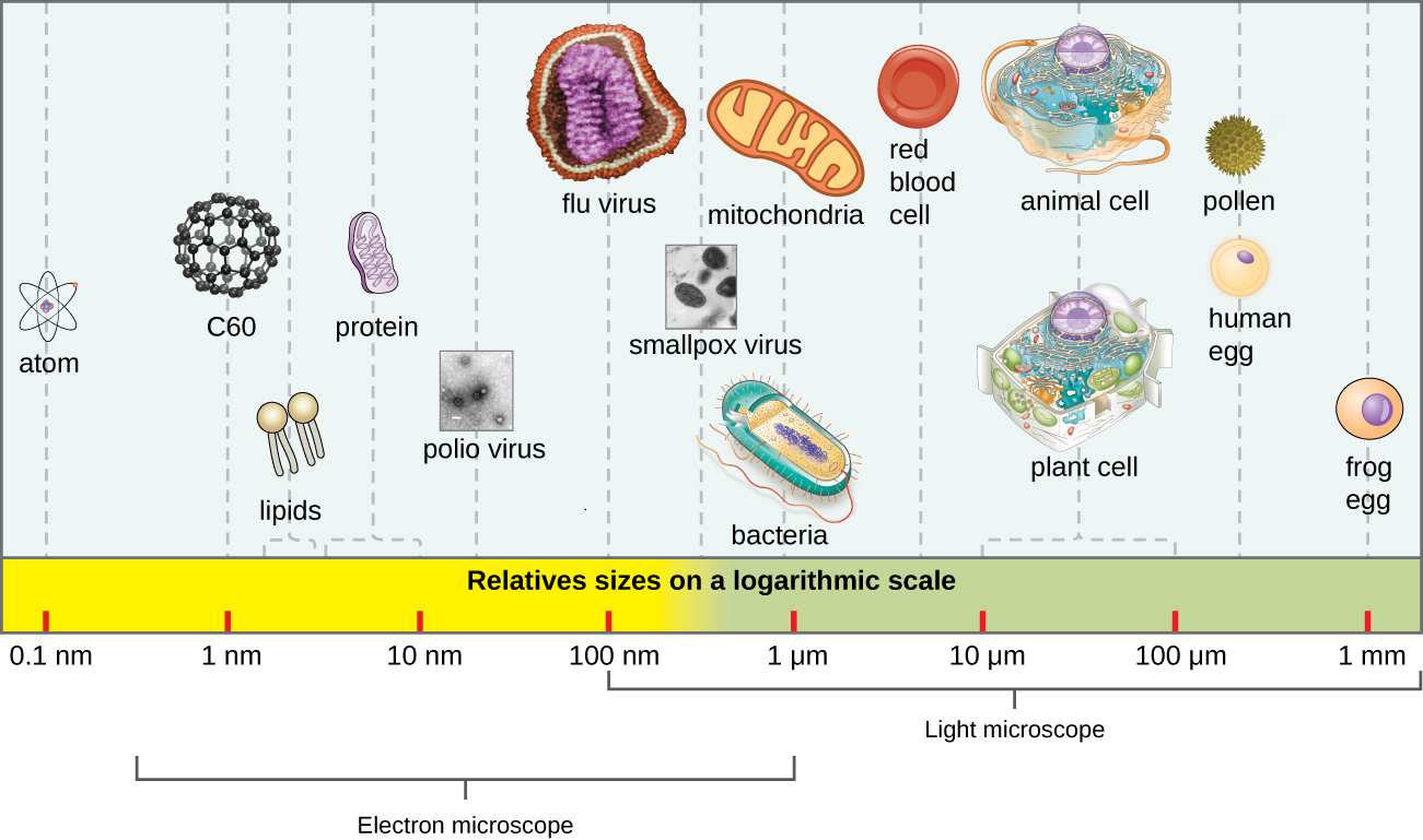A scale showing sizes of various sentities. The largest is a frog egg ad 1 mm. Human egg cells and pllen are approximately 400 µm. Typical plant ant animal cells reange from 10 to 100 µm. Red blood cells are uner 10 µm. Mitochondria and bacteria are approximately 1 µm. Smallpox is approximately 500 nm. Flu virus is approximately 100 nm. Polio virus is approximately 50 nm. Proteins range from 5 – 10 nm. Lipids range from 1 – 5 nm. Atoms are approximately 0.1 nm.