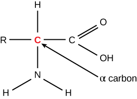 A molecule is shown and the structure is as follows. An R atom is bound to a red C atom with a single line. The C atom is bound by a single line to an H atom an N atom bound by 2 single lines to individual H atoms and another C atom. The C atom is attached to an O atom with double lines and an O H atom with a single lines. There is an arrow from the center red C atom to an alpha carbon label.