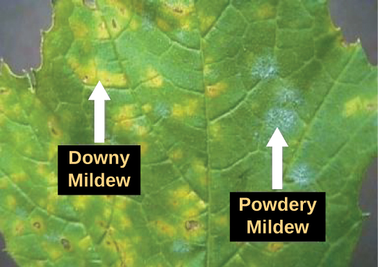 The photo shows a leaf infected with downy mildew and powdery mildew. Where the leaf is infected with downy mildew, it is yellow instead of green. Powdery mildew appears as a white fuzz on the leaf.