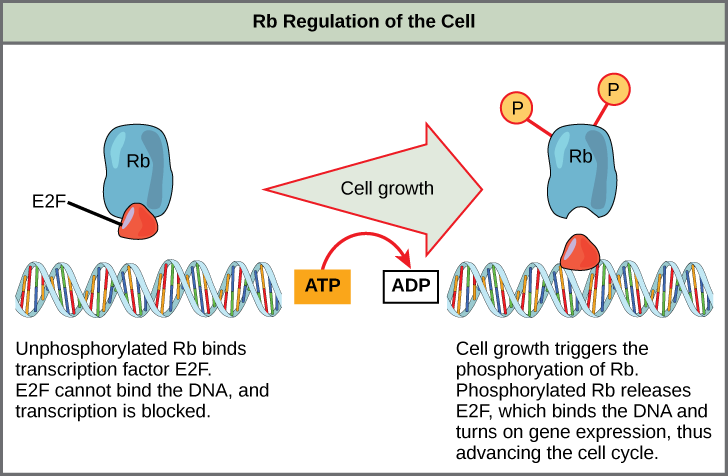 This illustration shows the regulation of the cell cycle by the upper case R lower case b protein. Unphosphorylated upper R lower b binds the transcription factor E 2 F. E 2 F cannot bind the D N A, and transcription is blocked. Cell growth triggers the phosphorylation of R b. Phosphorylated R b releases E 2 F, which binds the D N A and turns on gene expression, thus advancing the cell cycle.