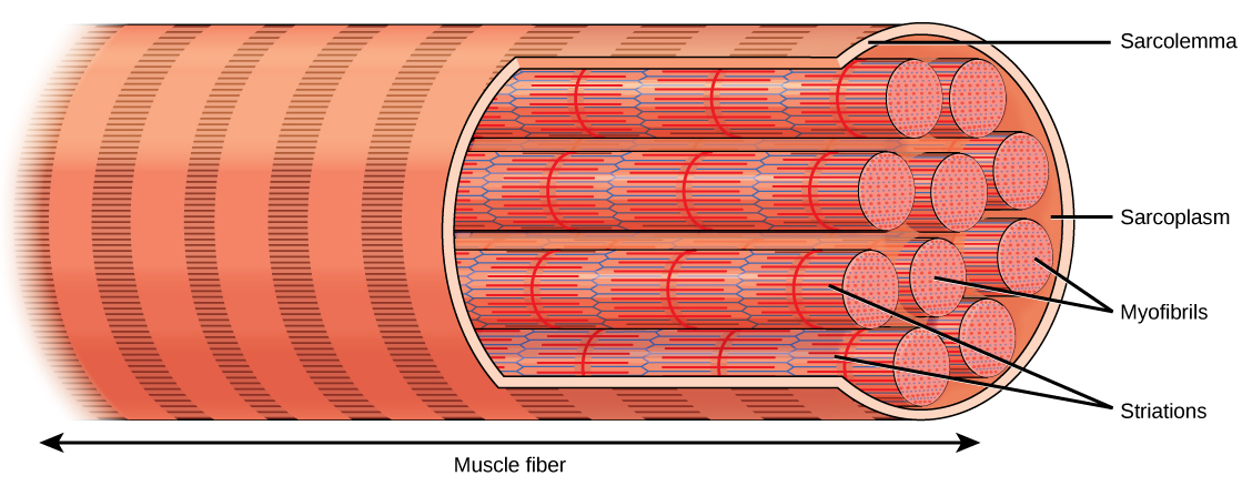Illustration shows a long, tubular skeletal muscle cell that runs the length of a muscle fiber. Bundles of fibers called myofibrils run the length of the cell. The myofibrils have a banded appearance.  The sarcolemma surrounds the bundle of fibers, and a sarcoplasm that exits around the muscle fibers.