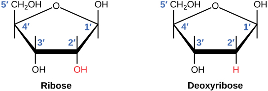 A figure showing the structure of ribose and deoxyribose sugars. In ribose, the OH at the 2' position is highlighted in red. In deoxyribose, the H at the 2' position is highlighted in red.