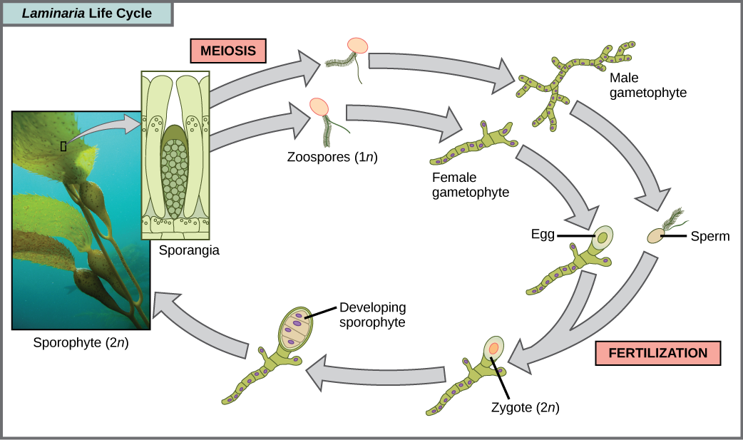 The life cycle of the brown algae, Laminaria, begins when sporangia undergo meiosis, producing 1 n zoospores. The zoospores undergo mitosis, producing multicellular male and female gametophytes. The female gametophyte produces eggs, and the male gametophyte produces sperm. The sperm fertilizes the egg, producing a 2 n zygote. The zygote undergoes mitosis, producing a multicellular sporophyte. The mature sporophyte produces sporangia, completing the cycle. A photo inset shows the sporophyte stage, which resembles a plant with long, flat blade-like leaves attached to green stalks via bladder like connections. Both the blade and stalks are submerged. Sporangia are associated with the leaf like structures.