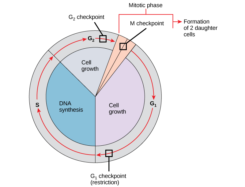 This illustration shows the three major checkpoints of the cell cycle: G subscript 1 baseline checkpoint restriction; G subscript 2 baseline checkpoint , and M checkpoint, mitotic phase.
