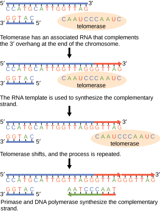 Telomerase has an associated RNA that complements the 5' overhang at the end of the chromosome. The RNA template is used to synthesize the complementary strand. Telomerase then shifts, and the process is repeated. Next, primase and DNA polymerase synthesize the rest of the complementary strand.
