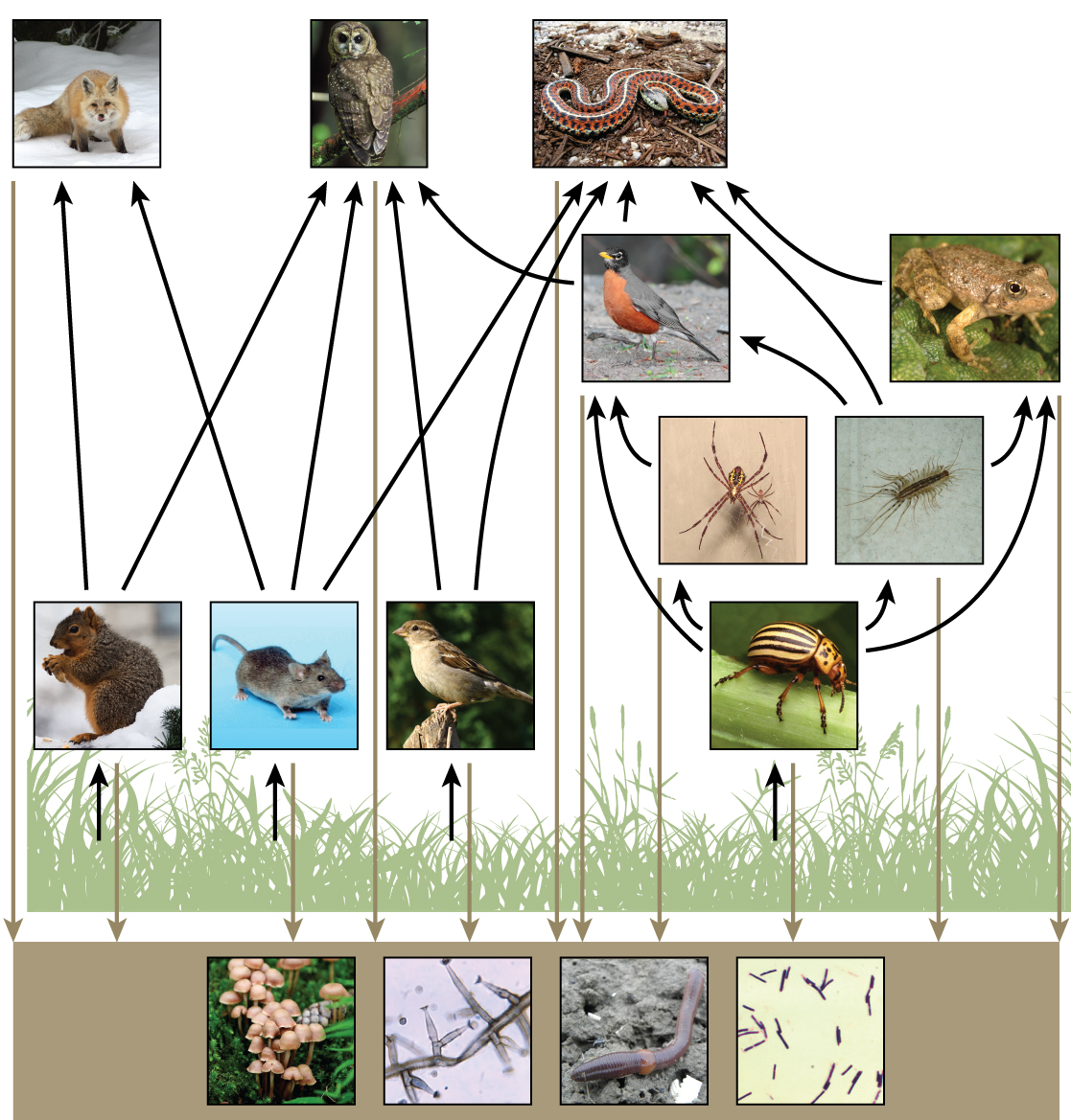 The bottom level of the illustration shows decomposers, which include fungi, mold, earthworms, and bacteria in the soil. The next level above decomposers shows the producers: plants. The level above the producers shows the primary consumers that eat the producers. Some examples are squirrels, mice, seed-eating birds, and beetles. Primary consumers are in turn eaten by secondary consumers, such as robins, centipedes, spiders, and toads. The tertiary consumers such as foxes, owls, and snakes eat secondary and primary consumers. All of the consumers and producers eventually become nourishment for the decomposers.
