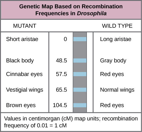 Chromosomal Theory and Genetic Linkages - Biology for AP ... on e. coli genetic map, mouse genetic map, virus genetic map, european genetic map, fruit fly genetic map, human genetic map, chromosome map, linear genetic map, cow genetic map, gene map,