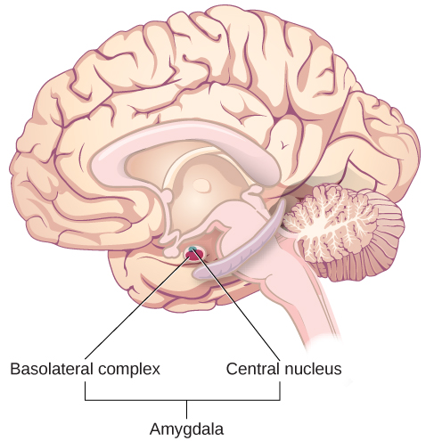"""An illustration of the brain labels the locations of the """"basolateral complex"""" and """"central nucleus"""" within the """"amygdala."""""""