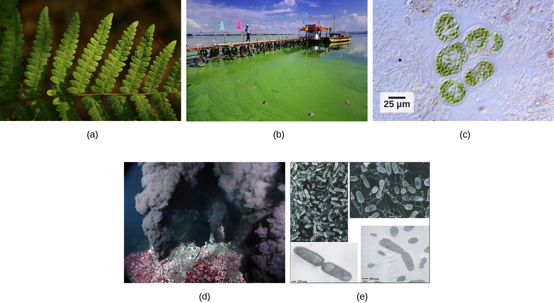 Photo a shows a fern leaf. Photo b shows thick, green algae growing on water. Micrograph c shows cyanobacteria, which are green rods about 10 microns long. Photo D shows black smoke pouring out of a deep sea vent covered with red worms. Micrograph E shows rod-shaped bacteria about 1.5 microns long.