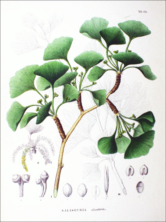 Illustration shows the green, fan-shaped leaves of Ginkgo biloba.