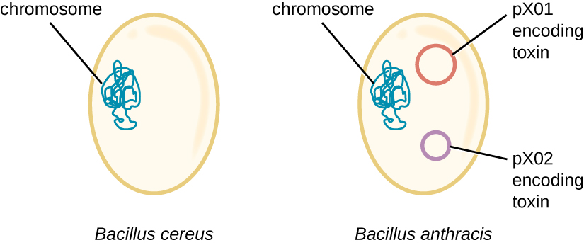 A diagram of Bacillus cereus showing an oval cell with a folded loop of a chromosome. The second diagram of this cell has two small loops, one labeled px01 encoding toxin and the other labeled px02 encoding toxin.