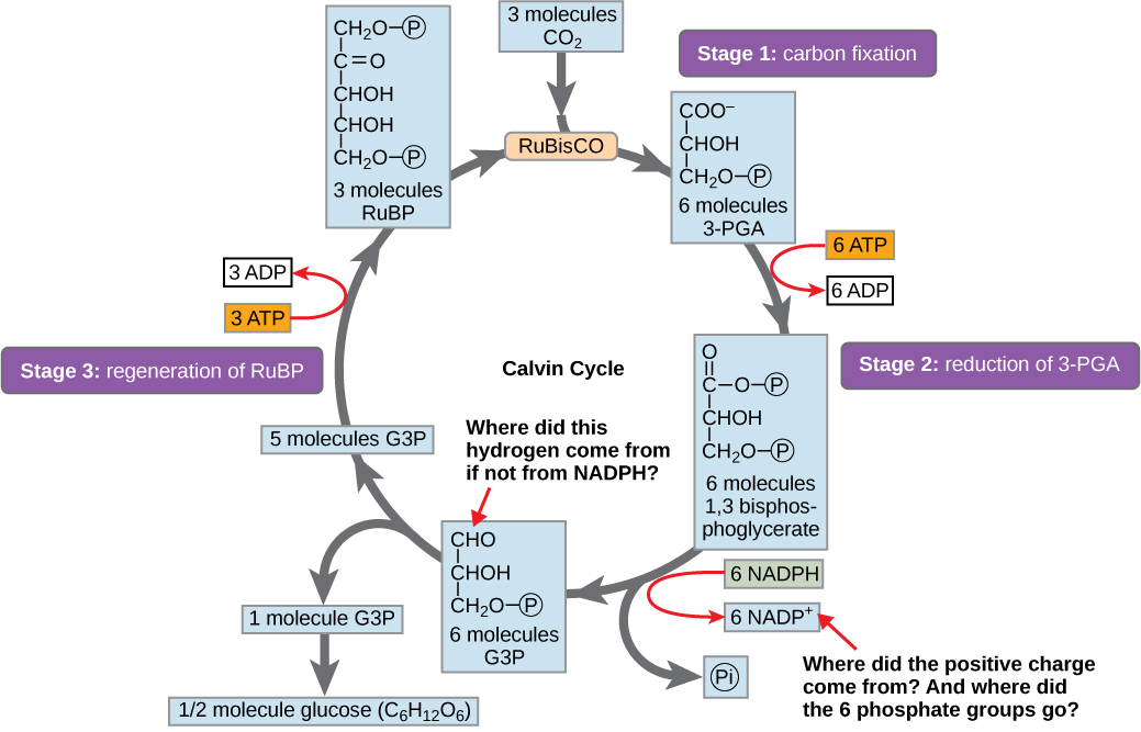 A diagram of the Calvin cycle is shown with its three stages: carbon fixation, 3-PGA reduction, and regeneration of RuBP. In stage 1, the enzyme RuBisCO adds a carbon dioxide to the five-carbon molecule RuBP, producing two three-carbon 3-PGA molecules. In stage 2, two NADPH and two ATP are used to reduce 3-PGA to G3P. In stage 3 RuBP is regenerated from G3P. One ATP is used in the process. Three complete cycles produces one new G3P, which is shunted out of the cycle and made into glucose (C6H12O6).