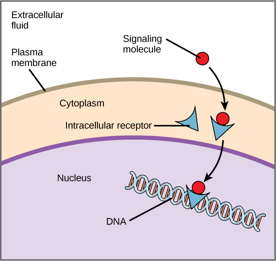 This illustration shows a hydrophobic signaling molecule that diffuses across the plasma membrane and binds an intracellular receptor in the cytoplasm. The intracellular receptor-signaling molecule complex then travels to the nucleus and binds D N A.