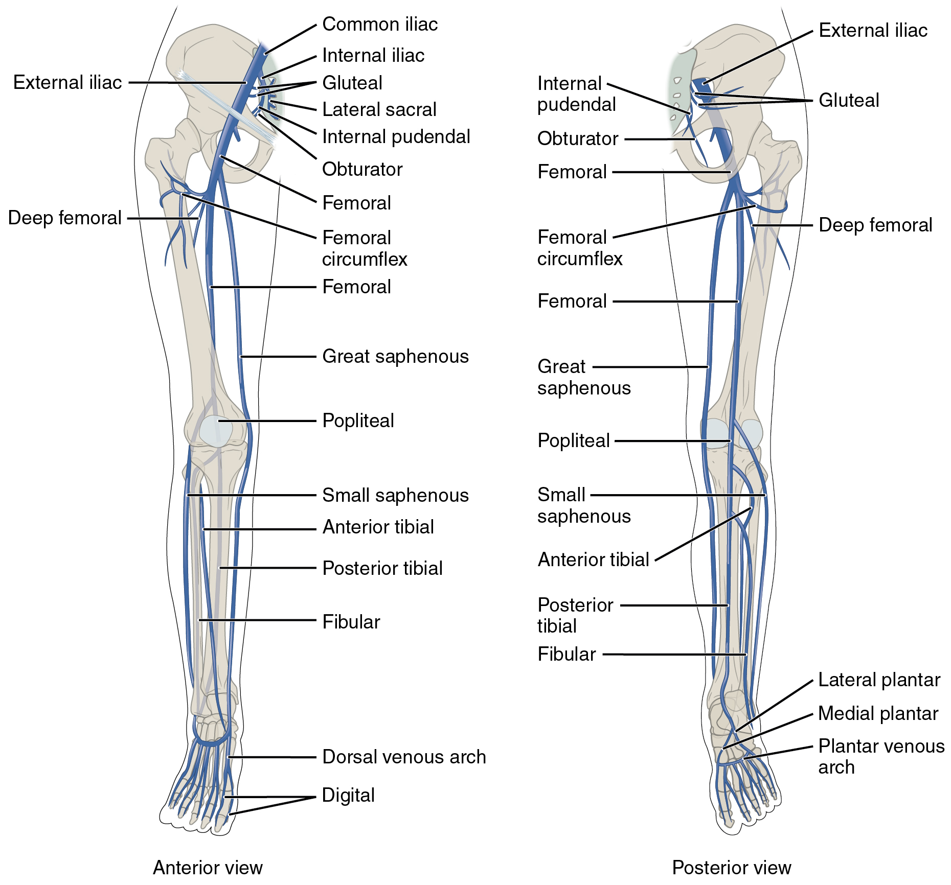 The left panel shows the anterior view of veins in the legs, and the right panel shows the posterior view.