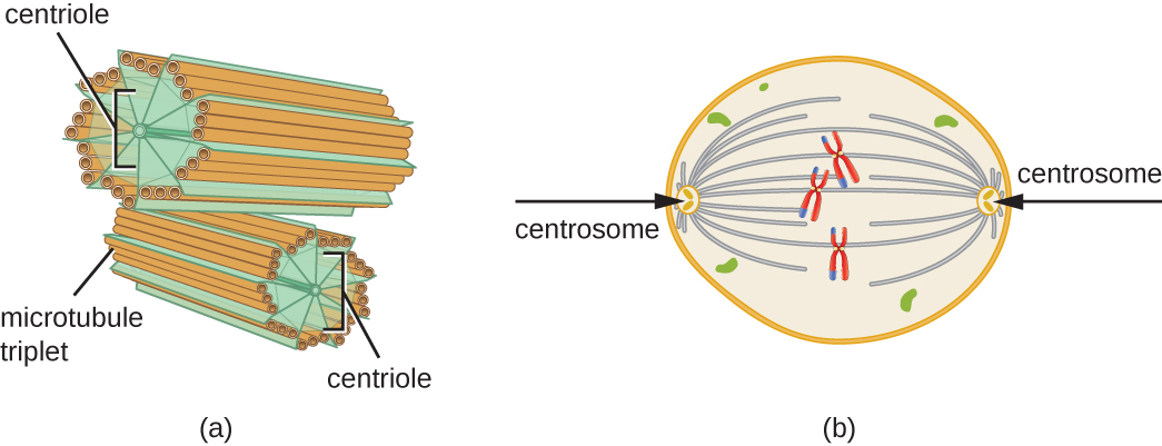 a) Centrosomes are shown as short tubes. The outside of these tubes is made of 9 sets of microtubule triplets. These sets are held together by lines labeled centrioles. B) Centrosomes are shown on the two poles of a cell. Lines connect the centrosomes to chromosomes in the center of the cell.