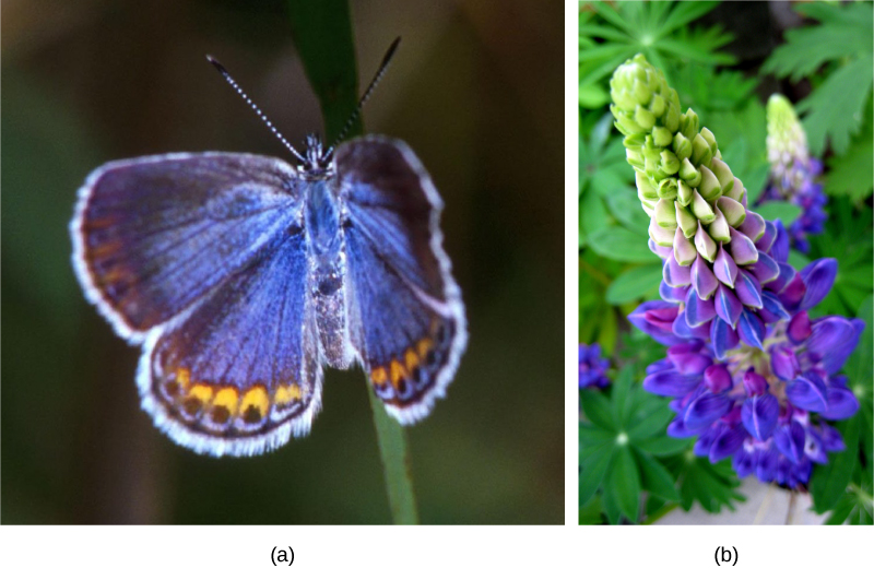 Photo (a) depicts a Karner blue butterfly, which has light blue wings with gold ovals and black dots around the edge. Photo (b) depicts a wild lupine flower, which is long and thin with clam-shaped petals radiating out from the center. The bottom third of the flower is blue, the middle is pink and blue, and the top is green.