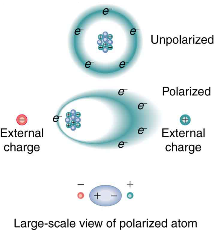 The top part of the figure shows what an unpolarized atom would look like if the electrons moved along a circular path around the positively charged nucleus. Next, when there is an external negative and a positive charge, the electrons are attracted toward the positive external charge and the nucleus is attracted toward the negative external charge. The circular orbit of the electrons becomes an ellipse due to the pull of the external charges.
