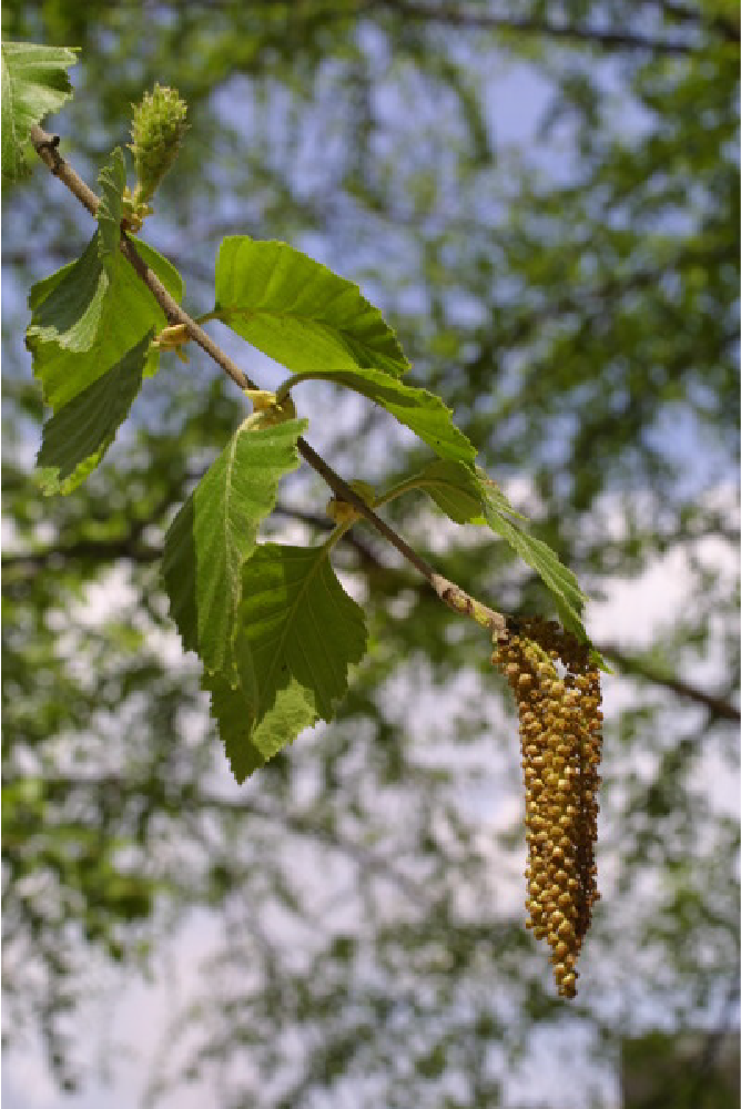 Image is of a river birch, Baskauf Betula. Seed pods hang from a branch, and appear to have the same composition and appearance of a cluster of grapes.