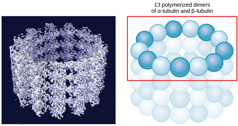The left part of this figure is a molecular model of 13 polymerized dimers of alpha- and beta-tubulin joined together to form a hollow tube. The right part of this image shows the tubulin structure as a ring of spheres connected together.